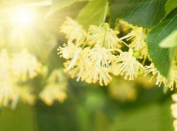W kwiatach lipy - rytuał na ciało i twarz